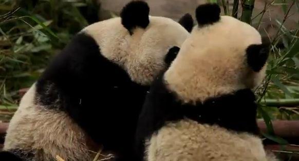 Pandas geant